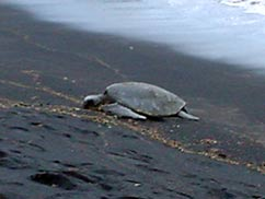 プナルウ黒砂海岸のウミガメ